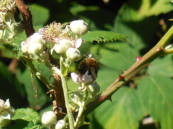 bee on blackberry flowers sutro forest 2