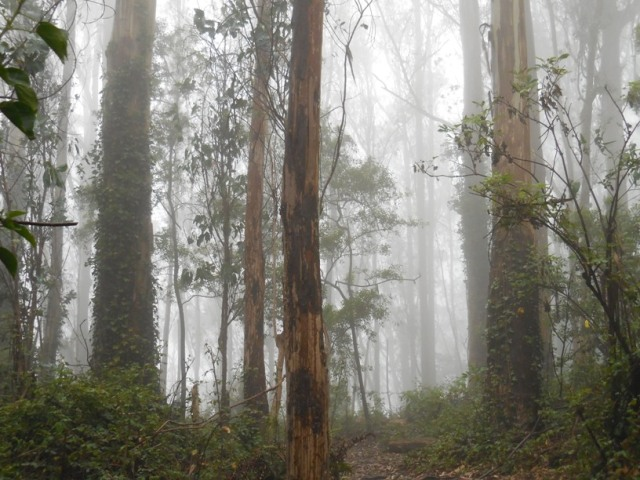 pics24 005 sutro forest in the fog