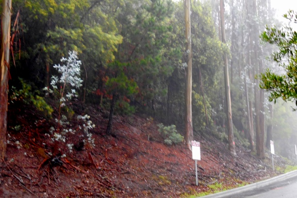 Sutro Forest Tree felling johnstone drive 7