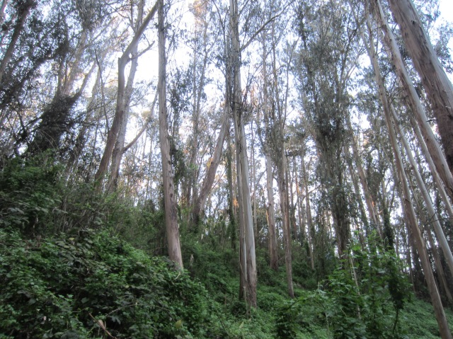 Sutro Forest above Medical Center Way in Feb 2013