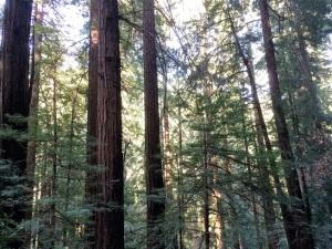 muir woods monoculture
