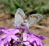 Acmon Blue - Plebejus acmon USFWS public domain