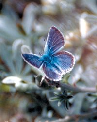 Mission Blue Butterfly - Public Domain Image
