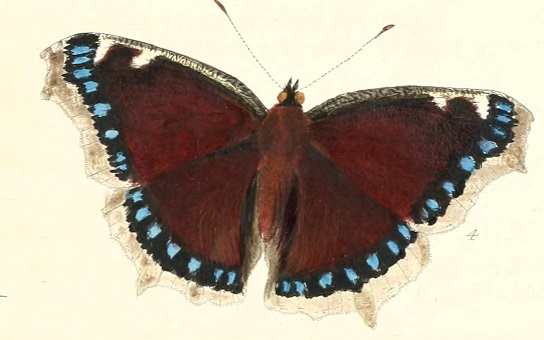 Illustration of a Mourning Cloak butterfly - public domain via Wikipedia