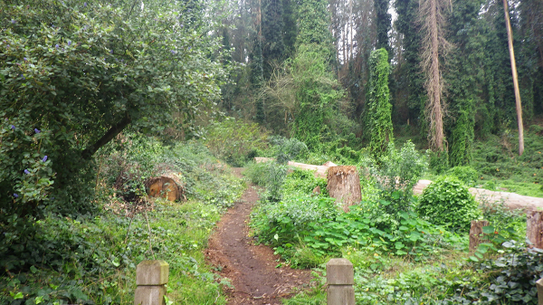 Sutro Cloud Forest - Belgrave Trailhead with felled trees - 2017