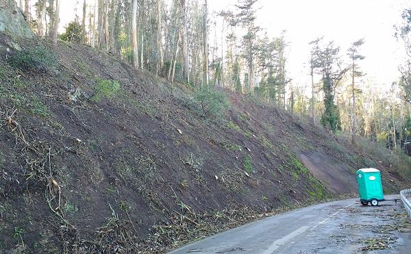 Sutro Forest Tree Destruction 2 - Medical Center Way Jan 2021 600 px